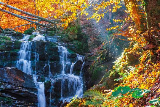 beautiful autumn scenery near the waterfall shypot. popular destination of Ukrainian Carpathians. trees in golden foliage. calm sunny weather in autumn.