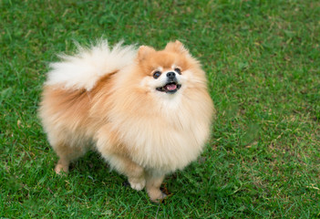 Portrait of a happy fluffy Pomeranian Spitz dog on the green grass outdoor. Little cute playful puppy is walking and smiling. Miniatuire beautiful red dog.