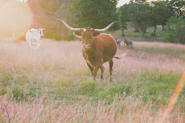 Wall Mural - Texas Longhorn heifer cow in rural countryside looking at camera.
