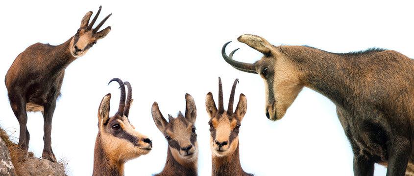 set of wild chamois goat isolated on white background