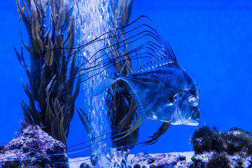 Marine background with shiny transparent reef fish and algae. Sea and ocean life backdrop with blue water. Underwater inhabitants and living corals. Diving or oceanarium or aquarium picture