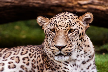 Wall Mural - Leopard, beautiful portrait . Animal world. Big cat.