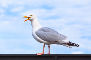 Seabird Cry Loud / Portrait of big seagull at railing with open beak, sky background (copy space)