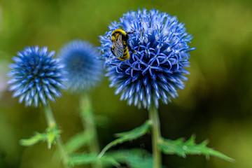 Fototapeta kwiat natura oset obraz