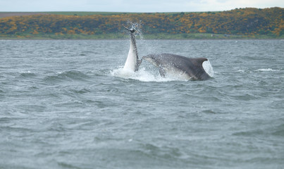 wild bottle-nose dolphins breachingwhile hunting for wild Atlantic  salmon which are migrating to spawning grounds in the Scottish highland rivers.   Pictures taken from the shore no need for a boat