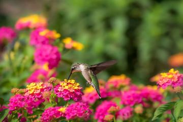 Obraz Ruby-throated hummingbird feeding at lantana flowers - fototapety do salonu