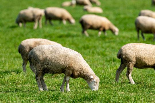 放牧中の羊
