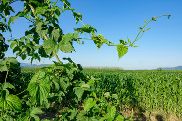 CLOSE UP: Scenic view of a hop vine and an endless field of maize on sunny day.
