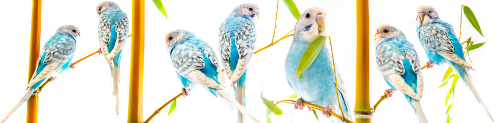 blue pet wavy parrots isolated on white background