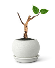 rebirth concept, pot with dry branch and young leaves on white