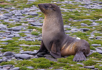 Baby Antarctic Fur Seal on Rocks