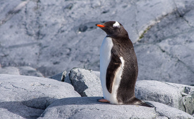 Gentoo Penguin Standing on Rocks