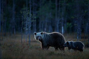 Bears, night in taiga. Brown bear with little cub. Family in dark forest. Pup with mother. Beautiful animals hidden in the forest. Dangerous creature in nature, wildlife Finland.