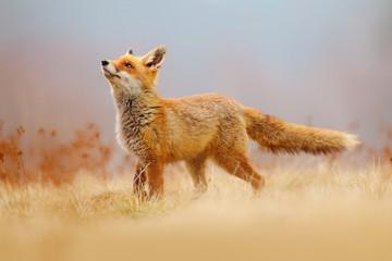 Red Fox hunting, Vulpes vulpes, wildlife scene from Europe. Orange fur coat animal in the nature...