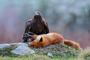 Wall Mural - Golden Eagle feeding on kill Red Fox in the forest during rain and snowfall. Bird behaviour in the nature.  Action food scene with brown bird of prey, eagle with catch, Sweden, Europe. First snow.