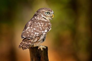 Owl hidden in tree nest hole in the forest. Little Owl, Athene noctua, bird in the nature habitat,...