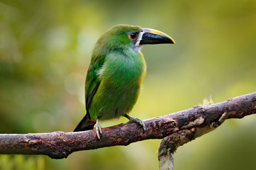 Wall Mural - Toucanet, Aulacorhynchus prasinus, green toucan in the nature habitat, Colombia. Wildlife scene from tropic forest. Green bird sitting on the branch. Blue-throated Toucanet in jungle.