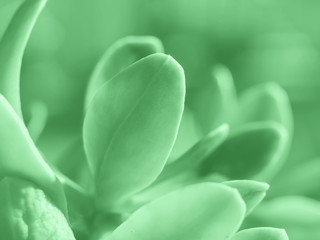 Macro shot of succulent green plant leaves growing outdoors. Mint green color of 2020