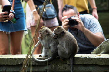 Indonesia Bali, 20 sept 2019, tourist make pictures of monkeys in Monkey forest
