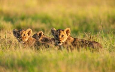 Lion cubs in a morning light, Amboseli, Kenya Wall mural