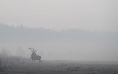 """Male deer is seen in a field in Republican landscape reserve """"Nalibokski"""" near the village of Kozliki"""