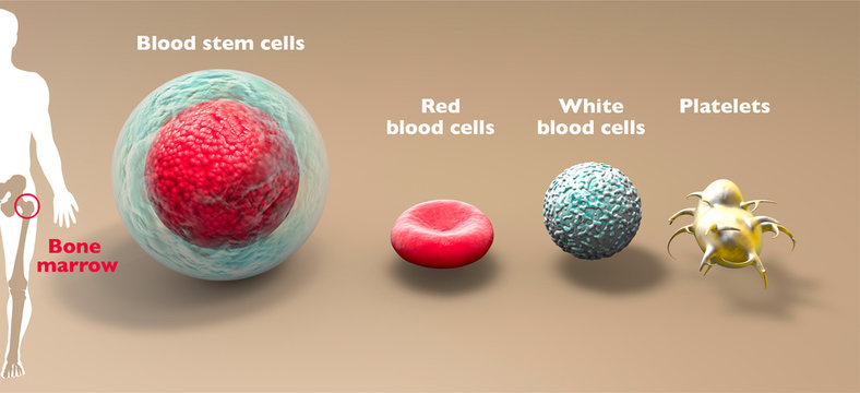 Blood stem cell is an immature cell that can develop into all types of blood cells, including white blood cells, red blood cells, and platelets. Bone marrow. 3d render