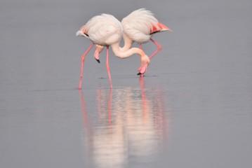 Flamingi różowe na Sardynii