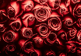 Rose flower in red color tone