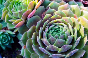 Echeveria elegans tropical succulent plants as a floral background. Decorative houseplants concept. Selective focus.