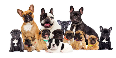 Fotorolgordijn Franse bulldog group dog breed French Bulldog