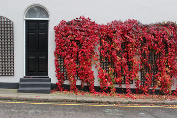 Beautiful red ivy wall house in London, United Kingdom