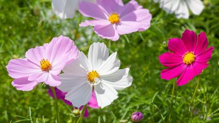 Fototapeten Kosmos beautiful pink Cosmos bipinnatus flower
