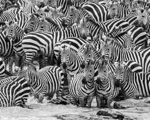 Photo sur Toile Zebra zebra herd