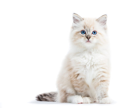 Ragdoll cat, small kitten portrait isolated on white background