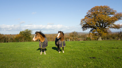 Pretty ponies standing in field wearin matching rugs to keep them warm