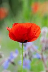 Field meadow of red poppy flowers