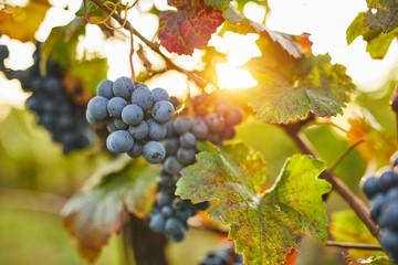Blue grapes in sunshine on autumn vineyard Fototapete