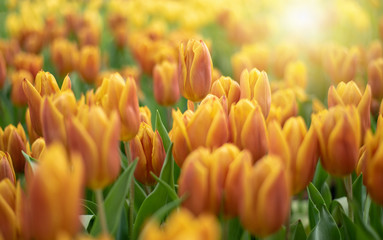 Colorful Tulip Group Orange tulip flowers illuminated by sunlight. Smooth focus, colorful tulip picture background