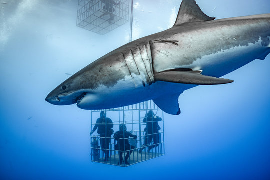 Great White Shark, Guadalupe Island, Isla Guadalupe, White Shark, Cage Diving