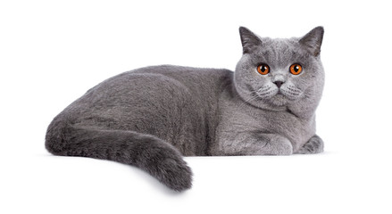 Wall Mural - Impressive light blue young adult British Shorthair female cat, laying down side ways. Looking with bright orange eyes straight to camera. Isolated on white background.