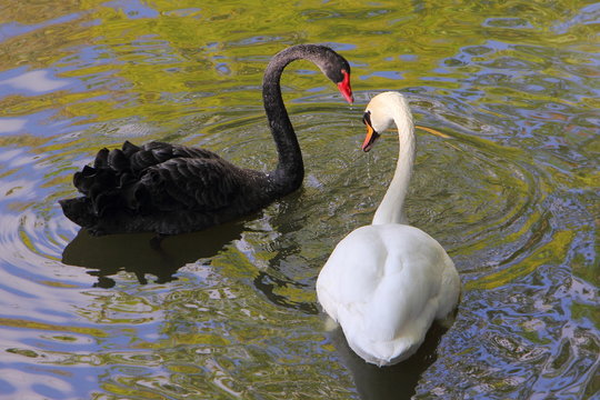 Beautiful pair of swans White and black swim together, a symbol of love
