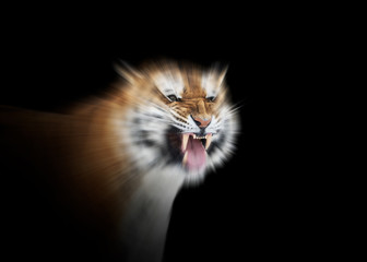 Roaring tiger against black background