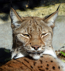 Wall Murals Lynx Eurasian lynx (Lynx lynx) is a medium-sized wild cat occurring from Northern, Central and Eastern Europe to Central Asia and Siberia, the Tibetan Plateau and the Himalayas