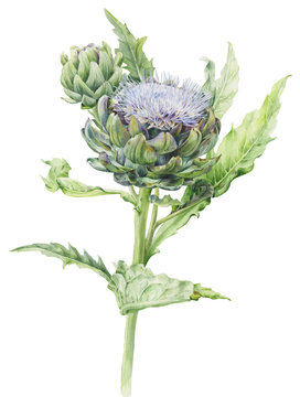 Watercolor illustration of artichoke flower with bud on stem on white background.