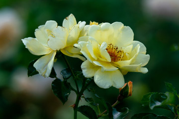 Detailed portrait of yellow Gelber Engel floribunda rose heads with a green bokeh background