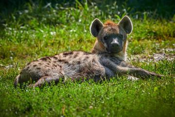 Garden Poster Hyena Spotted hyena (Crocuta crocuta) or laughing hyena