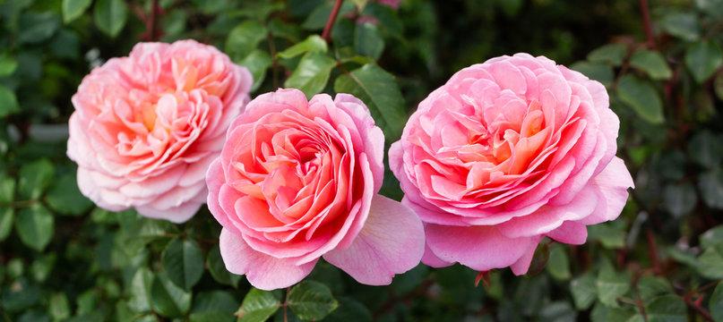 Beautiful roses, green garden background