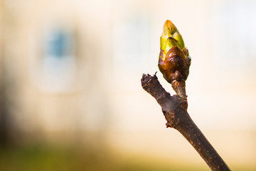 turgid swollen bud on a branch, closeup, copy space, early spring concept Fotobehang