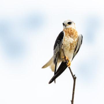 Juvenile White Tailed Kite (Elanus leucurus)