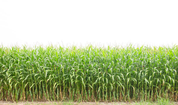 Corn on white background with clipping path